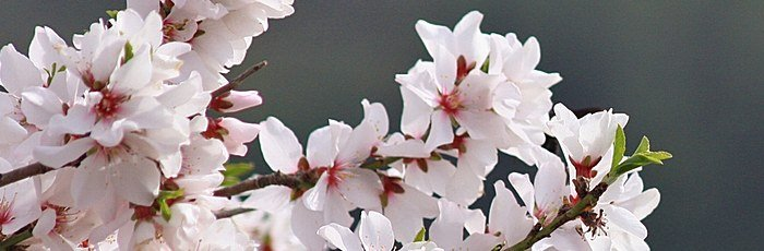 Almond Blossom and the Golden Lampstand