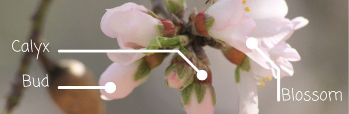 Almond Blossom - elements of the lampstand